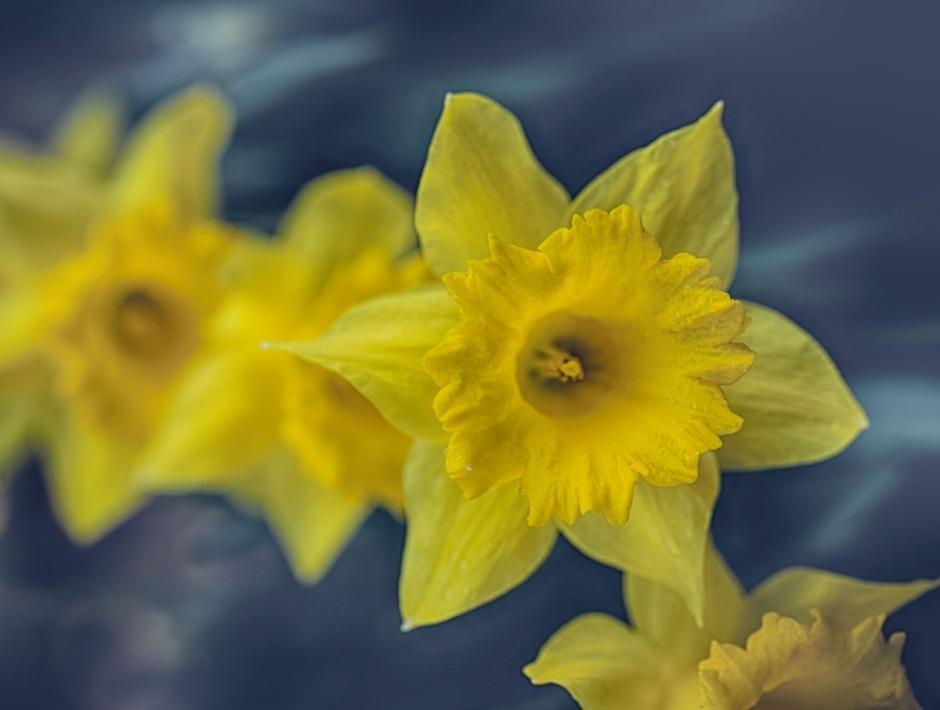 daffodils-6106HDRcrweb.jpg