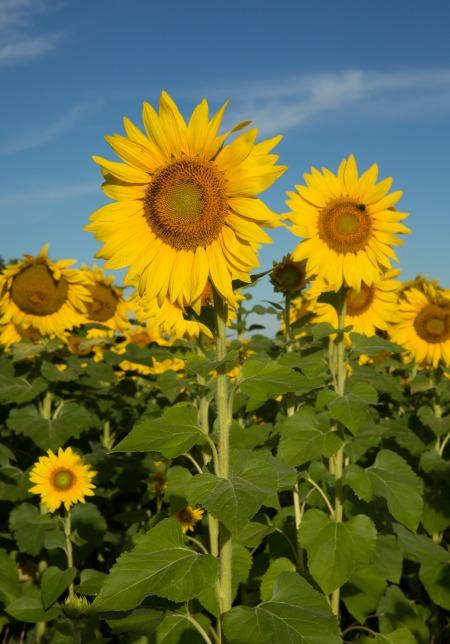 W35sunflowers-4-9308web