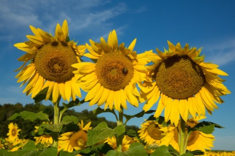 W35sunflowers-4-9314web