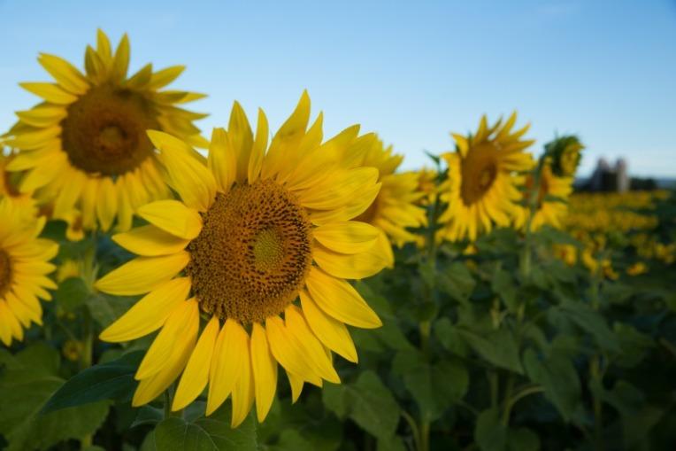 W35sunflowers-4-9322web