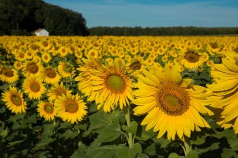 W35sunflowers-4-9354web