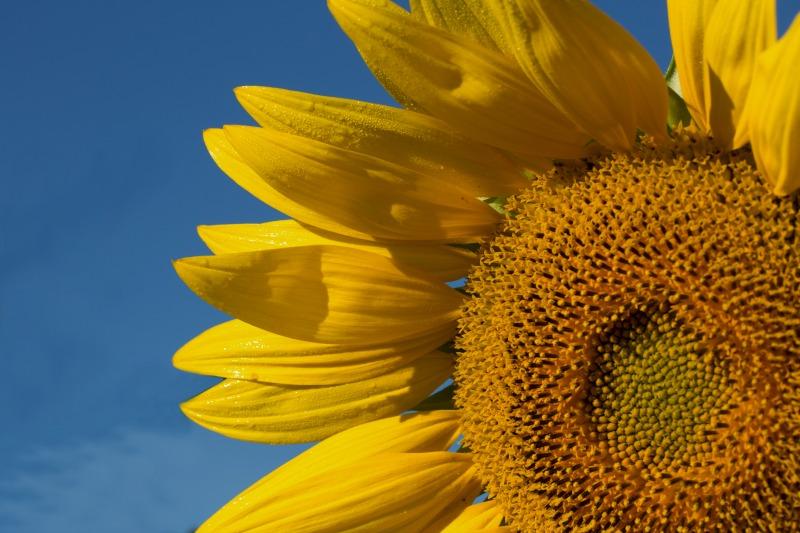 W35sunflowers-4-web