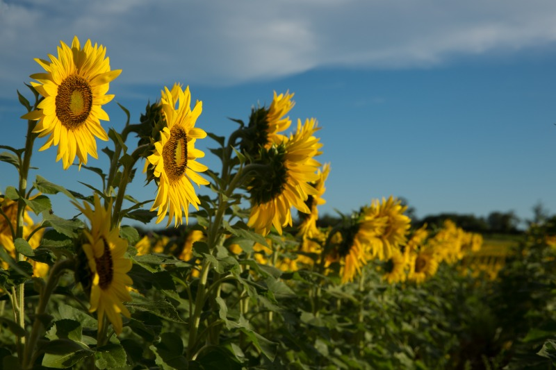 W35sunflowers-9301web