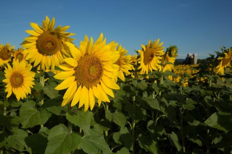 W35sunflowers-9328web