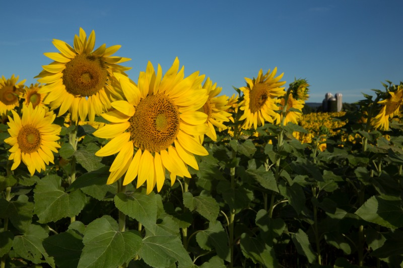 W35sunflowers-9328web