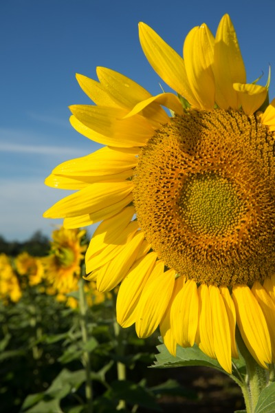 W35sunflowers-9360web