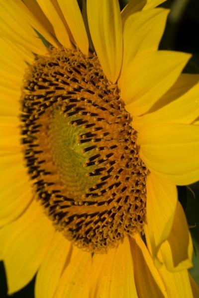 W35sunflowers-9382web