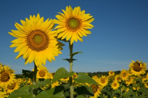 W35sunflowers-9432web